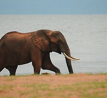 African Elephant by Nick Hart