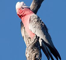 Galah in the Wind by John Sharp