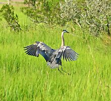 GBH LANDING IN THE TALL GRASS by imagetj