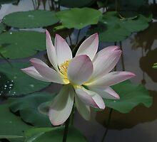 Lotus  by Kelly Morris