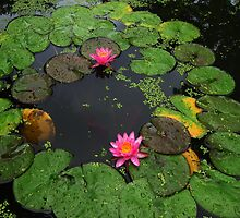 Water lily by Kelly Morris