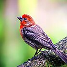 House Finch... by Tracie Louise