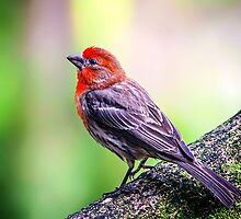 House Finch... by tracielouise