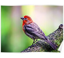 House Finch... Poster