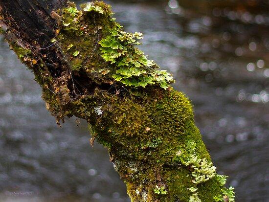 Lichen by Elaine Teague