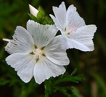 White Swamp Rose Mallow by PineSinger