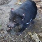 Tasmanian Devil at Taronga Zoo by Ren Provo