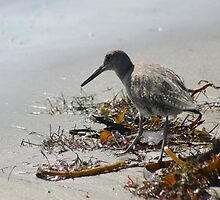 WESTERN WILLET by fsmitchellphoto