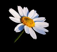 Black and White Daisy by Karen Harrison
