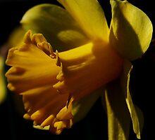 Yellow Daffodil by Karen Harrison