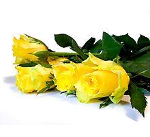 Yellow roses towards white Photographic Print