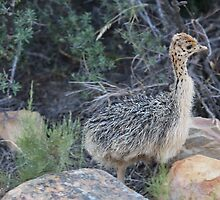 Baby Ostrich at Aquila in South Africa by Ren Provo