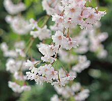 White Cherry Blossom Whispers by kutekatgurl