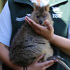 Quokka Joey at Taronga Zoo Sydney Australia by Ren Provo