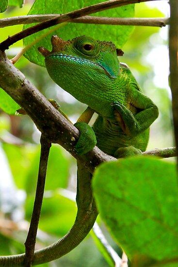 Zen master  - Chameleon - Calumma parsonii  -  Andasibe Madagascar by john  Lenagan