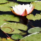 Water Lily  - Orton Effect by Linda  Makiej Photography
