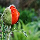 Unopened Orange Poppy Ready to Pop by Kenneth Keifer
