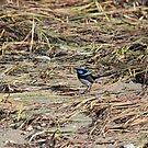 blue fairy wren at Greens Beach by gaylene