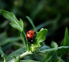Little Lady Bug by Karen Harrison