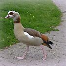 Egyptian Goose. by Lilian Marshall