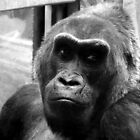 Columbus, OH: Contemplative Gorilla by ACImaging