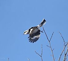 And the shrike will strike! by Heather King