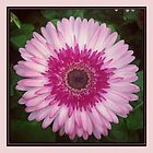 Pink Flower Daisy by Emily Heatherly