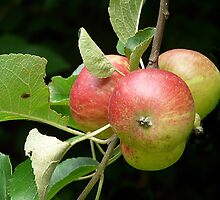 Wild Apples by Bill Shuman