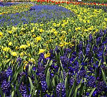 Yellow & Blue spectacle at Floriade, Canberra by Bev Pascoe