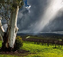 Light on the Vines by Andrew Dickman
