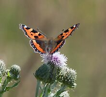 Small Tortoiseshell by Gill Langridge