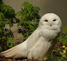 Snowy Owl by sunshine65