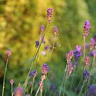 Sunset Lavender by Phill Sacre
