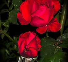 Rose in the night by bratpyle