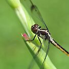 Dragon Fly by Wviolet28