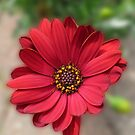 The Pointing Petal - Vibrant African Daisy by MidnightMelody
