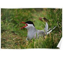 Arctic Tern Poster