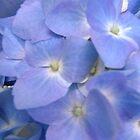 Blue Hydrangea by Shulie1