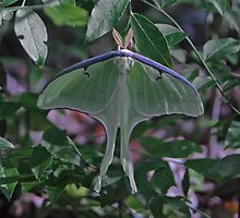 Luna Moth by Lisa G. Putman