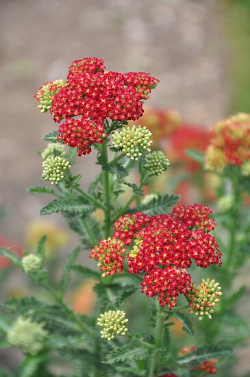Red Stars by joan warburton