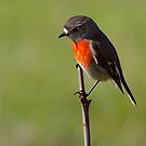 Flame Robin - Male  by John Sharp