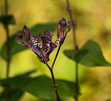 Exotic Tricyrtis Lily by Georgia Mizuleva