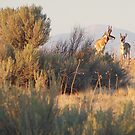 Antelope Pair by BrianAShaw
