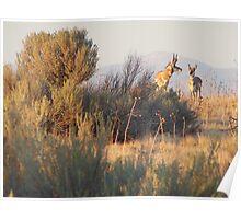 Antelope Pair Poster