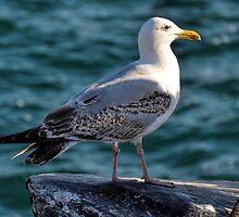 Gulls Rule Okay by lynn carter