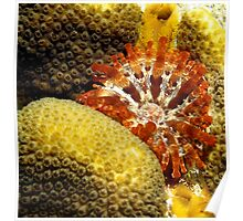 Rare Orange Tipped Corallimorph Anemone along the Coral Reef Poster