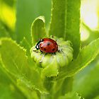 Macro Ladybug on Garden Plant by Amy McDaniel