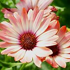 Macro Pink Cinnamon Tradwind Daisy Flower in the Garden by Amy McDaniel