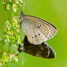 Mating Ringlets by M.S. Photography/Art