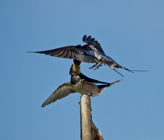 Swallows by M.S. Photography/Art